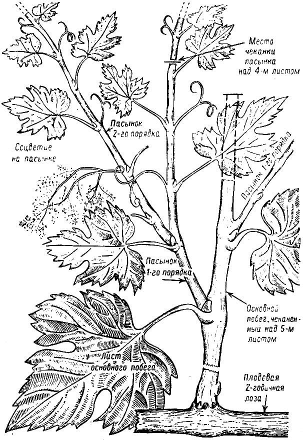 Часть 3: Обрезка винограда на беседку (арку) - 400 Мб; Поэтому в практике встречаются отклонения от обычной схемы...