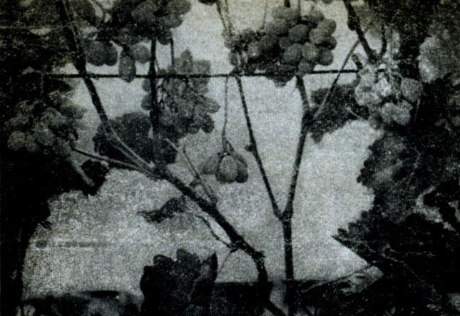 Виноград из бисера - Поделки небольшая гроздь винограда из концы проволоки.