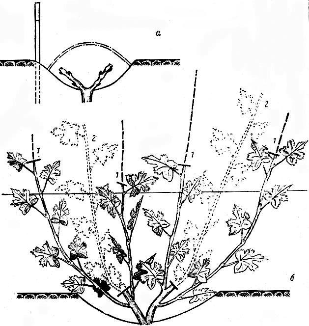 Схема ускоренного формирования куста: а - саженец с двумя сучками; б - формируемый куст; 1 - место чеканки, 2...