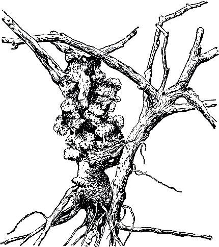Рис. 63. Пораженный раком и здоровый штамб виноградного куста