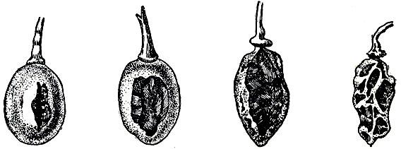 Рис. 64. Бактериоз ягод