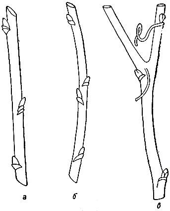 Рис. 66. Побеги: а - с нормальными междоузлиями; б - с двойным узлом; в - раздвоенный