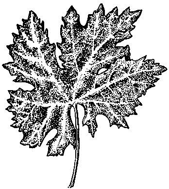 Рис. 68. Жилковый хлороз