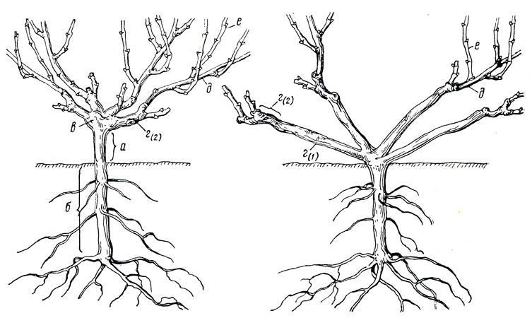 Части стебля виноградного